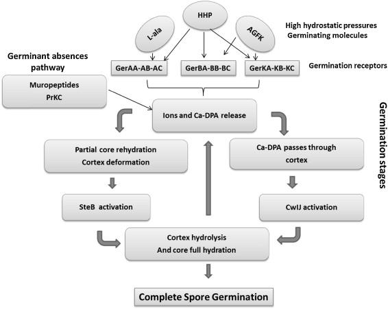 Life Cycle And Spore Resistance Of Spore Forming Bacillus Atrophaeus