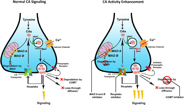 Potential plant-derived catecholaminergic activity enhancers