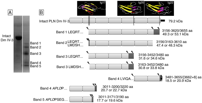 Matrilysin/matrix metalloproteinase-7(MMP7) cleavage of perlecan/HSPG2  creates a molecular switch to alter prostate cancer cell behavior -  ScienceDirectScienceDirect.com