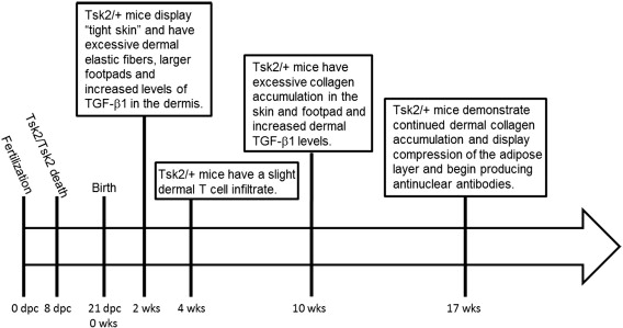 Tight skin 2 mice exhibit a novel time line of events leading to