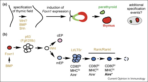 Thymus development and function - ScienceDirect