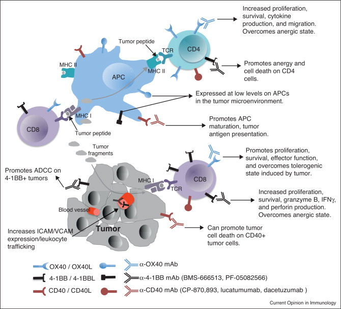The TNFRs OX40, 4-1BB, and CD40 as targets for cancer immunotherapy