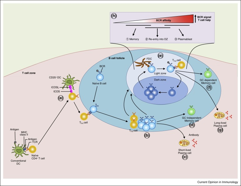 Regulation of memory b and plasma cell differentiation sciencedirect tfh cell differentiation in the t cell zone publicscrutiny Choice Image