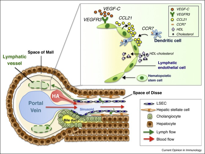 Lymphatics In The Liver Sciencedirect