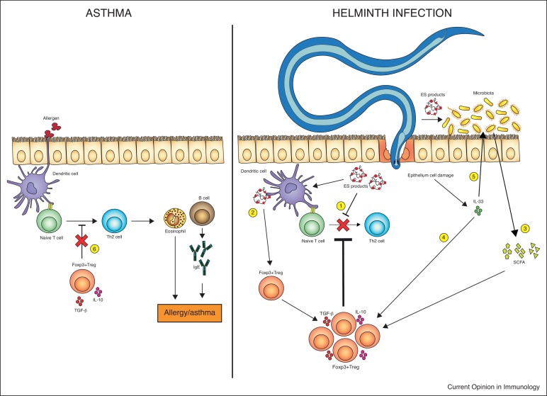 Helminth therapy allergies. Alergie si imunologie - Helminthic therapy for allergies