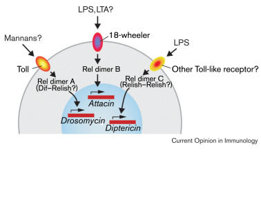 Toll Signaling Pathways In The Innate Immune Response Sciencedirect