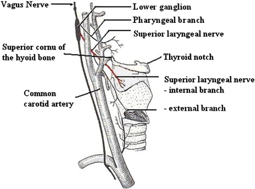 Superior laryngeal nerve block: an anatomical study comparing two ...