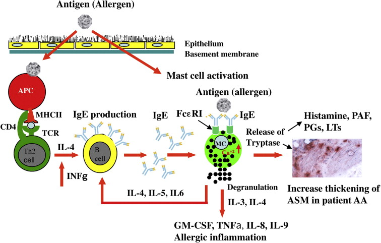 The role of mast cells in allergic inflammation - ScienceDirect