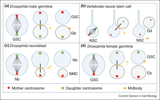 control of asymmetric cell division sciencedirect