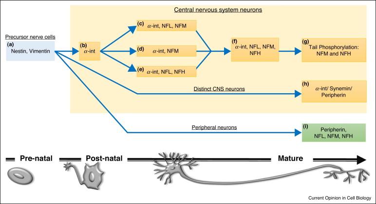 Neurofilaments