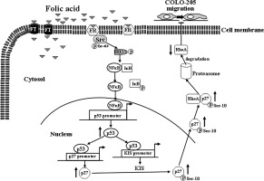Folic Acid Inhibits Colorectal Cancer Cell Migration Sciencedirect