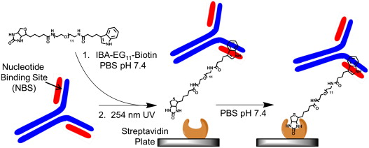 Oriented antibody immobilization by site specific uv schematic representation of the uv nbsbiotin immobilization method antibodies associate with ibaeg11biotin ligand at the nbs and upon uv exposure a ccuart Gallery