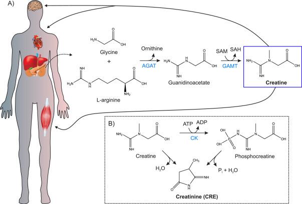Modern creatinine (Bio)sensing: Challenges of point-of-care