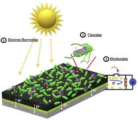 A self-charging cyanobacterial supercapacitor - ScienceDirect