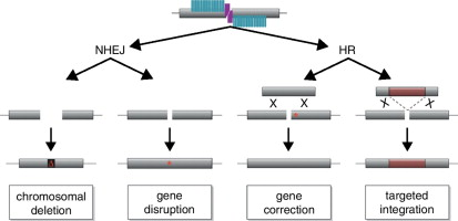 Tale nucleases tailored genome engineering made easy sciencedirect in the presence of donor dna the homologous sequences can either be employed to correct a mutation asterisk in the genome or to target integration of a ccuart Choice Image