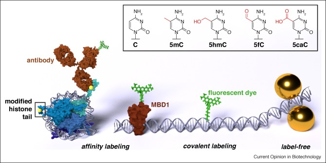 Analytical Epigenetics Single Molecule Optical Detection Of Dna And