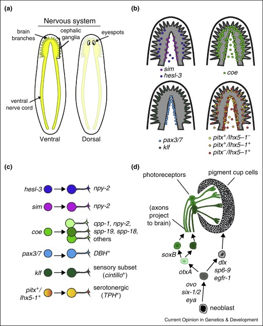 Diagram of planarian dorsal find wiring diagram on the organ trail insights into organ regeneration in the rh sciencedirect com flatworm diagram flatworm planaria ccuart Images