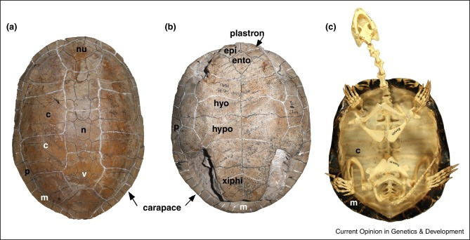 Patterning of the turtle shell - ScienceDirect