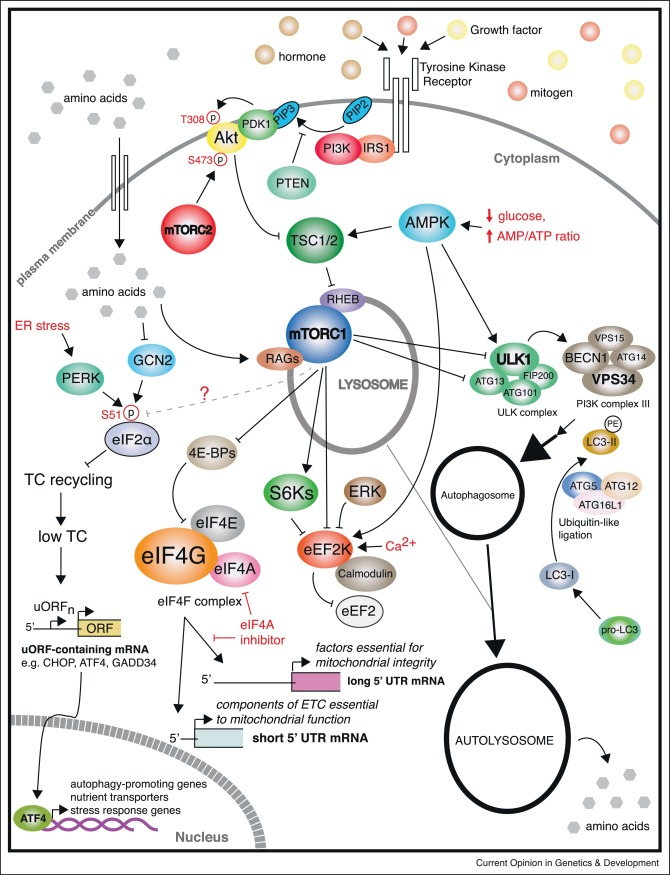 Cross Talk Between Protein Synthesis Energy Metabolism And