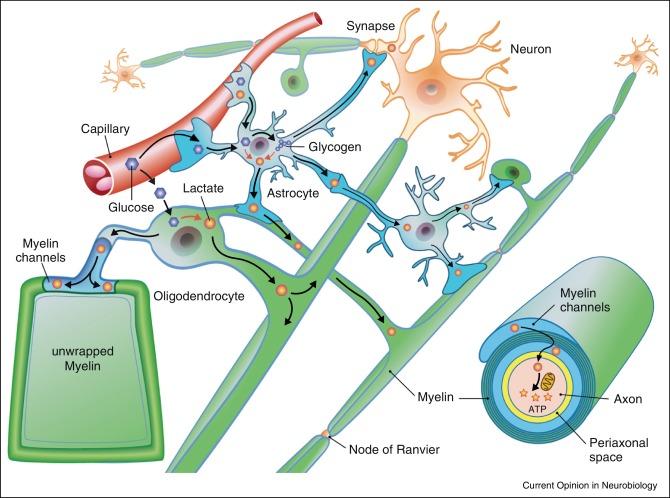 Risultati immagini per Oligodendrocytes