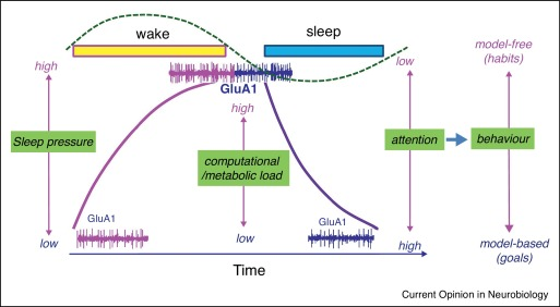 Sleep homeostasis, habits and habituation - ScienceDirect
