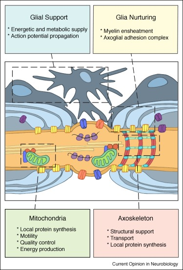 Maintenance mechanisms of circuit-integrated axons
