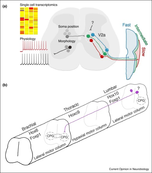 Origin and circuitry of spinal locomotor interneurons