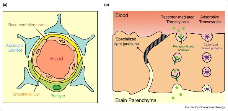 Transcytosis at the blood–brain barrier - ScienceDirect