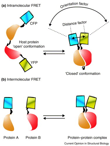 the use of fret imaging microscopy to detect protein protein