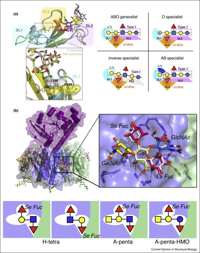 Histo-blood group antigens as mediators of infections - ScienceDirect