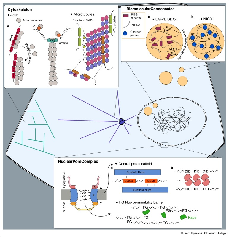 IDPs in macromolecular complexes: the roles of multivalent