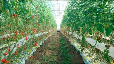 Life cycle analysis of organic tomato production and supply