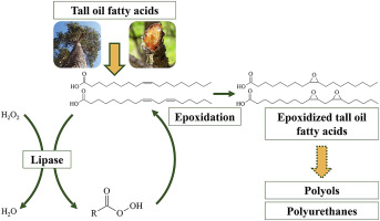Chemo-enzymatic oxidation of tall oil fatty acids as a precursor for  further polyol production - ScienceDirect