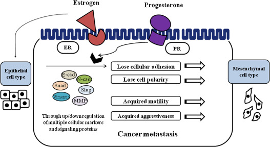 Effect Of Steroid Hormones Estrogen And Progesterone On Epithelial Mesenchymal Transition In Ovarian Cancer Development Sciencedirect