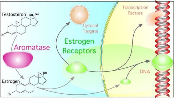 The effect of estrogen on tendon and ligament metabolism and