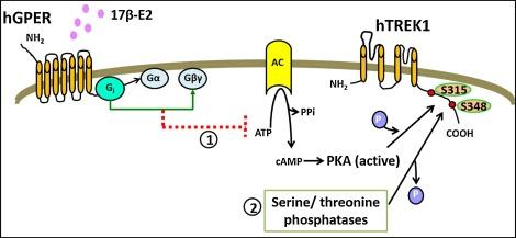 17β-estradiol potentiates TREK1 channel activity through G