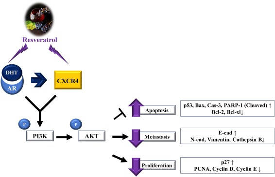 Resveratrol inhibits DHT-induced progression of prostate