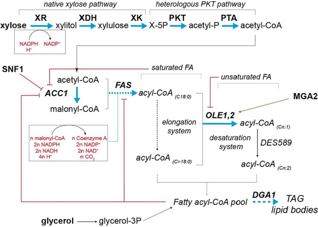 Microbial lipids from industrial wastes using xylose