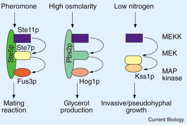 MAP Kinase Cascades: Scaffolding Signal Specificity ... on cyclic adenosine monophosphate, mapk/erk pathway, apoptosis cascade, c-jun n-terminal kinases, jak-stat signaling pathway, protein kinase, adenylate cyclase, pi3k/akt/mtor pathway, protein kinase c, wnt signaling pathway, signal transduction, protein kinase cascade, tyrosine kinase, cyclin-dependent kinase, notch signaling pathway, amyloid cascade, signal transduction pathway cascade, receptor tyrosine kinase, tgf beta signaling pathway, caspase cascade,