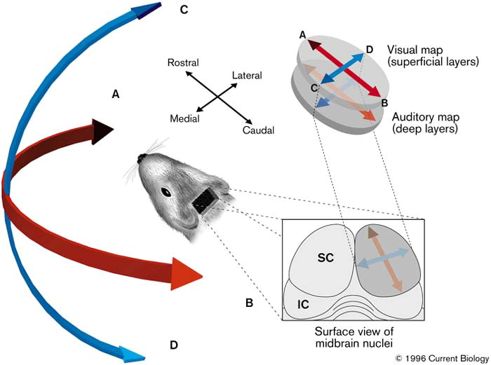 Sensory maps: Aligning maps of visual and auditory space - ScienceDirect