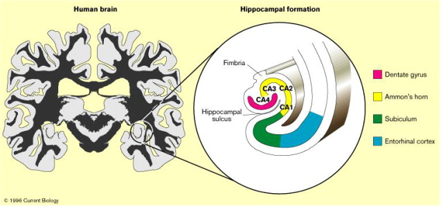 Human memory the hippocampus is the key sciencedirect download high res image 68kb ccuart Images