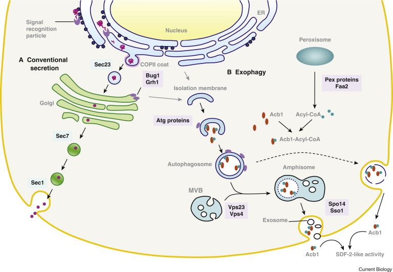 protein secretion unconventional exit by exophagy sciencedirect