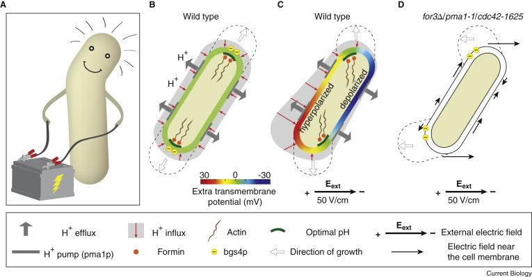 Cell Polarity: Which Way to Grow in an Electric Field? - ScienceDirect