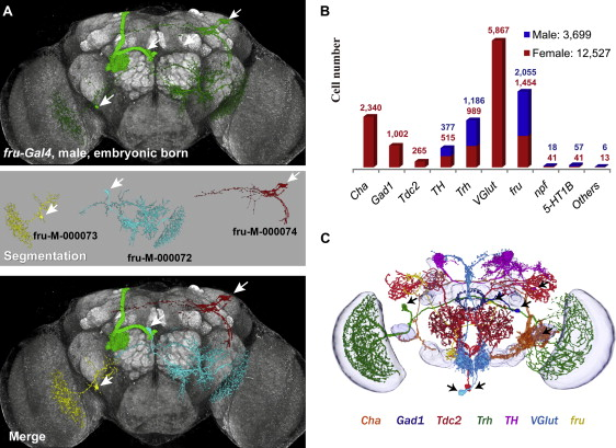 Three Dimensional Reconstruction Of Brain Wide Wiring Networks In