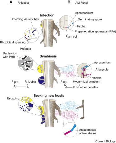 Life histories of symbiotic rhizobia and mycorrhizal fungi main text ccuart Choice Image