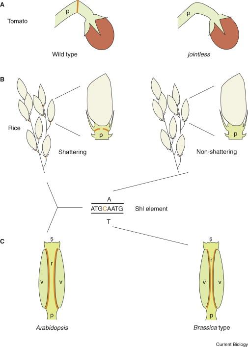 Seed Dispersal Same Gene Different Organs Sciencedirect