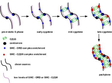 A pathway for synapsis initiation during zygotene in drosophila graphical abstract ccuart Gallery