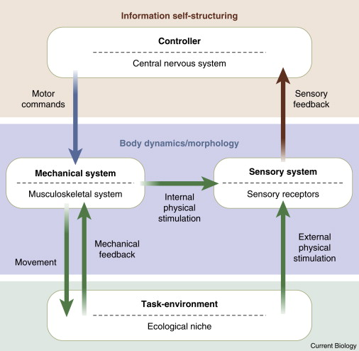 An Embodied View Of Octopus Neurobiology Sciencedirect
