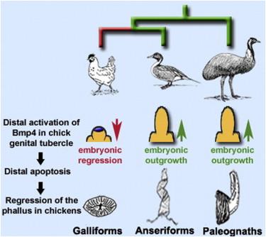 Developmental Basis Of Phallus Reduction During Bird Evolution