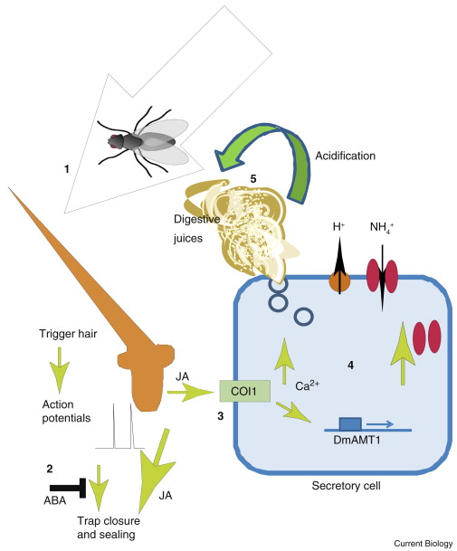 Carnivorous Plants Trapping Digesting And Absorbing All In One